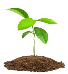 Image of PLANT SAPLINGS